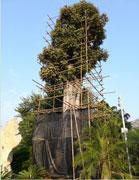 点将科技技术团队顺利完成1600年树龄古樟树健康检测