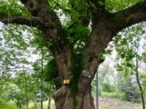 TRU树木雷达助力古树名木保护