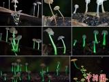 中印科学家联合考察发现一种新型发光真菌